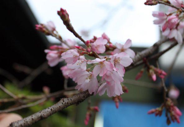 和食仲むら桜